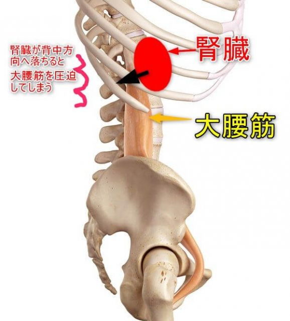 大腰筋と腎臓の位置