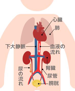 水と腎臓の関係
